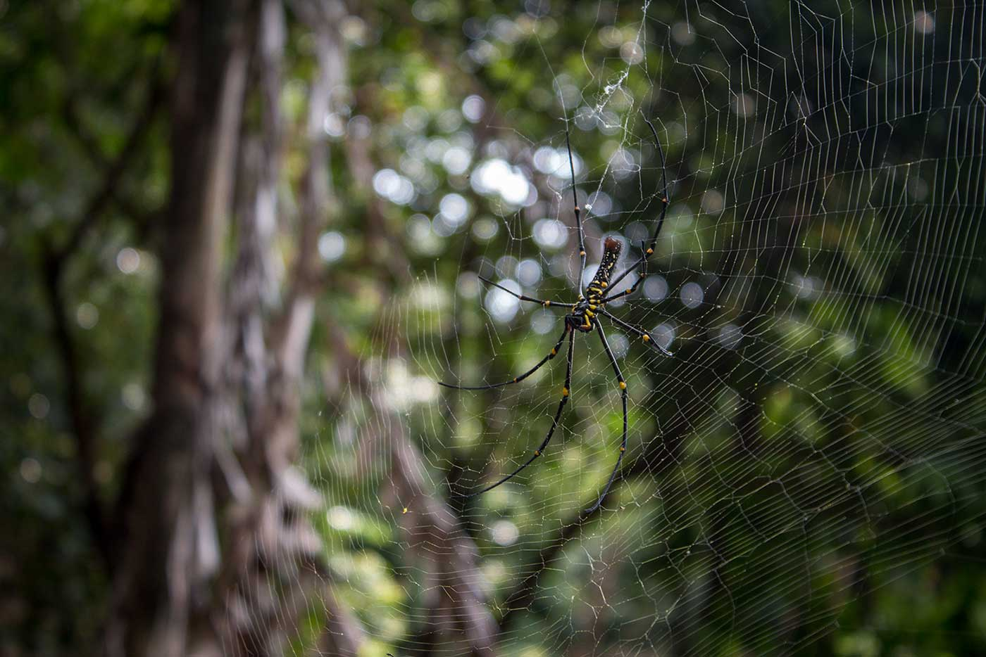 A giant golden orb weaver spider builds its web across the path. Penang Island, Malaysia.