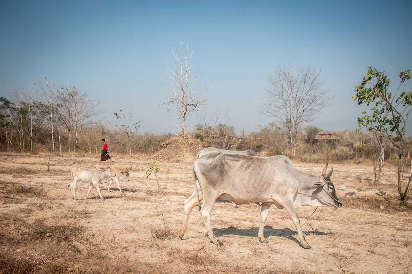 Just a few blocks away from Myanmar's parliament, a young farmer herds cattle.