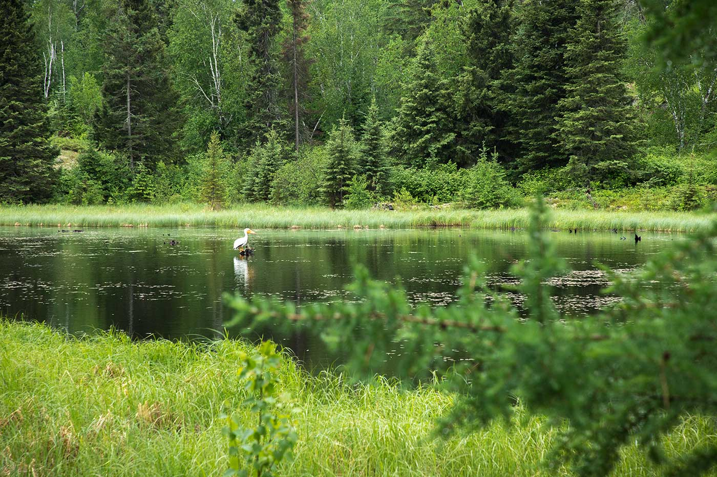 North American White Pelican fish the waters of Whiteshell Forest, close to the location of the 1967 'Falcon Lake Incident.' Beside the highway nearby are a series of campsites, restaurants, and UFO-themed souvenir shops.